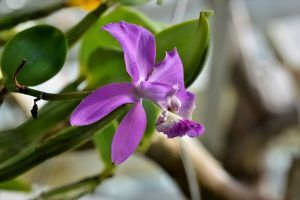 Cómo podemos detectar la falta de riego en las orquídeas