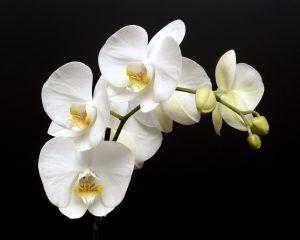 Cómo hacer que las orquídeas blancas crezcan fuertes y vigorosas