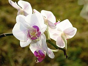 Qué humedad necesitan las orquídeas blancas