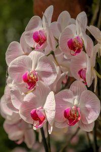 Cómo hacer que las orquídeas en invierno crezcan fuertes y vigorosas