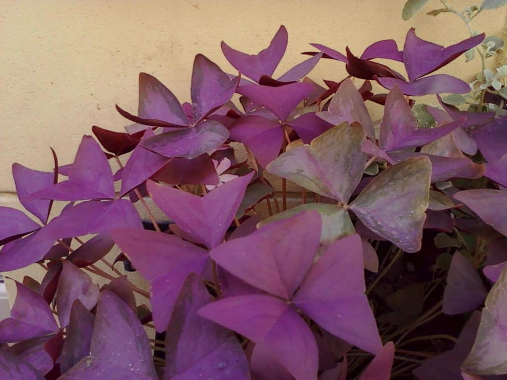 oxalis triangularis cultivo