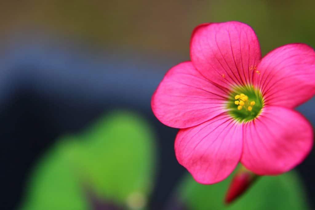cómo sembrar flores de oca