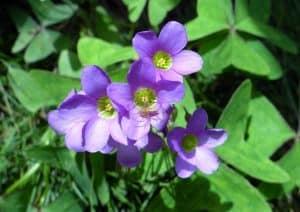 sustrato y abono de flor de oca