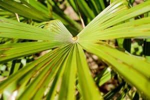 palmera china planta de interior