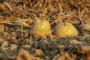 abonar para el cultivo de patatas