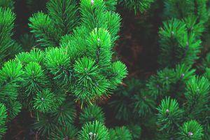 tipos de árboles de hoja perenne