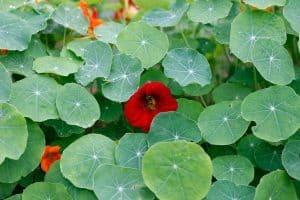 ¿Qué es la flor de la permacultura?