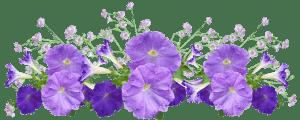 sembrar petunias en el jardín