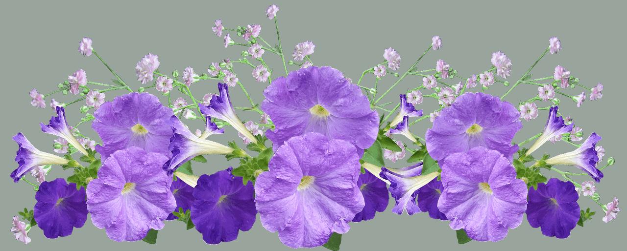 Petunia Flores de Primavera