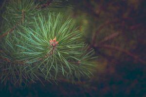 La reproducción del pino