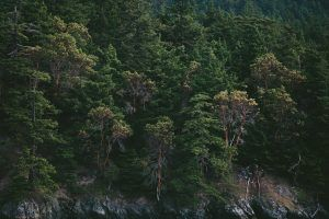 ¿Puede un exceso de agua matar un pino?