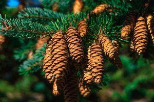 Cómo regar un pino