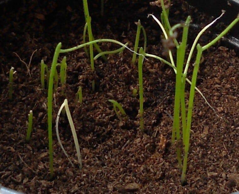 plagas y enfermedades de los cebollinos