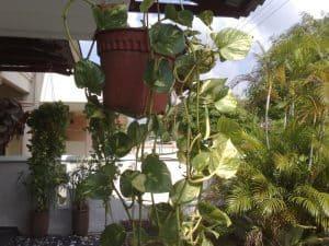 planta china del dinero siembra y cultivo