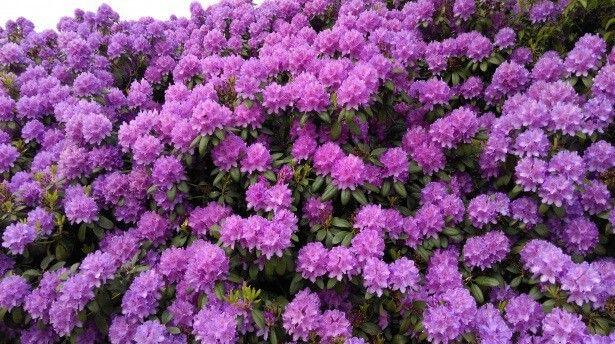 planta ornamental rododendro