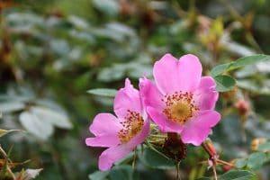 sembrar planta rosario