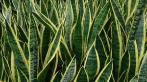 plantar Sansevieria