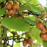 plantar árbol de kiwi