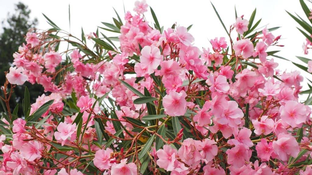 plantar adelfas planta venenosa
