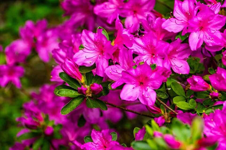 plantar azaleas en jardín