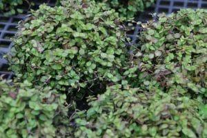 plantar callisia repens