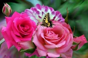plantar flores rosas