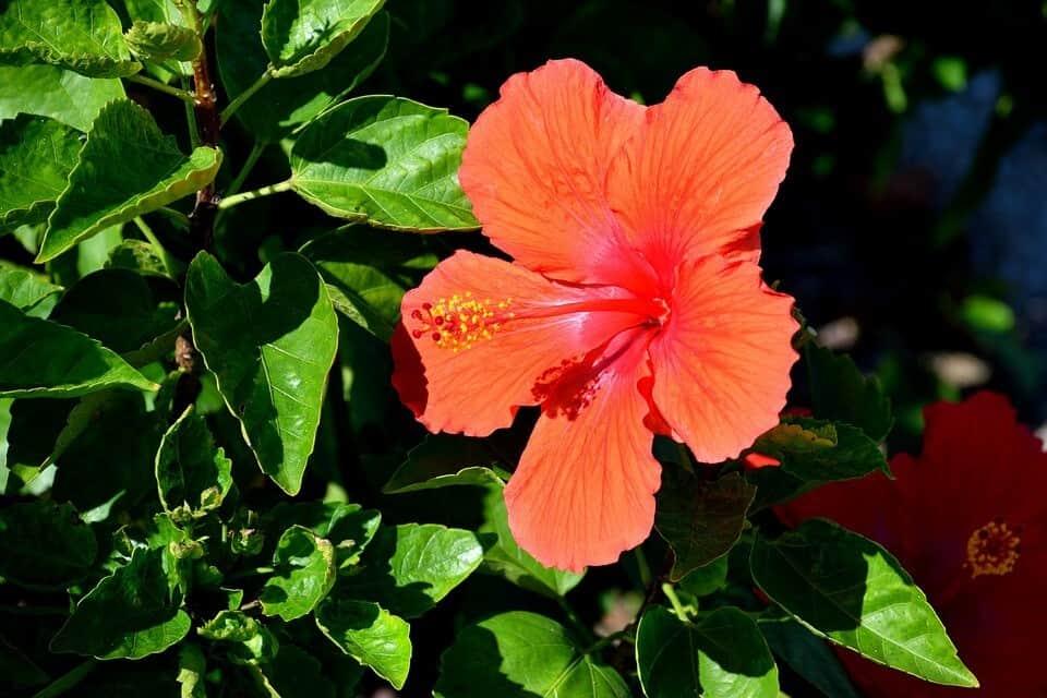 plantar hibisco