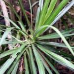 plantar marginata