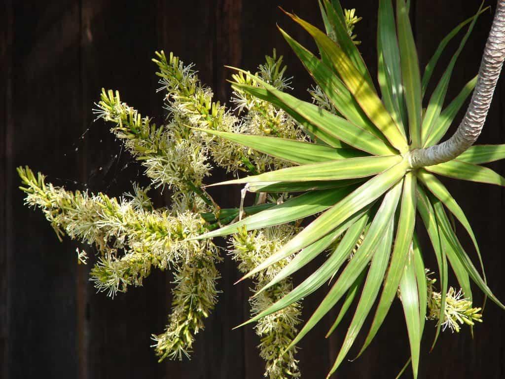 plantar marginata en casa