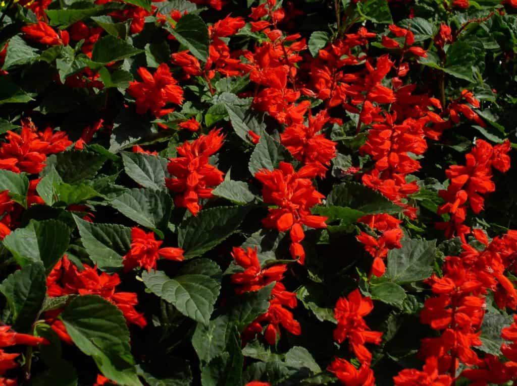 plantar salvia roja paso a paso