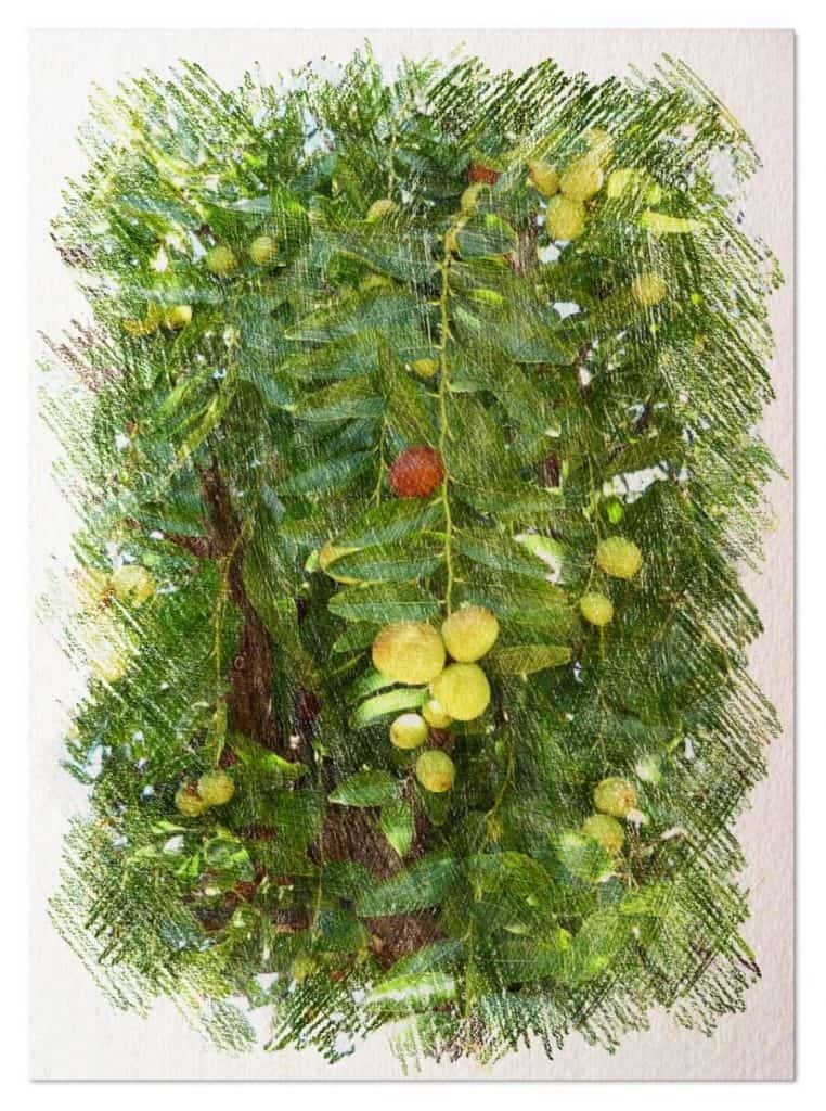 plantar un azufaifo o jinjolero
