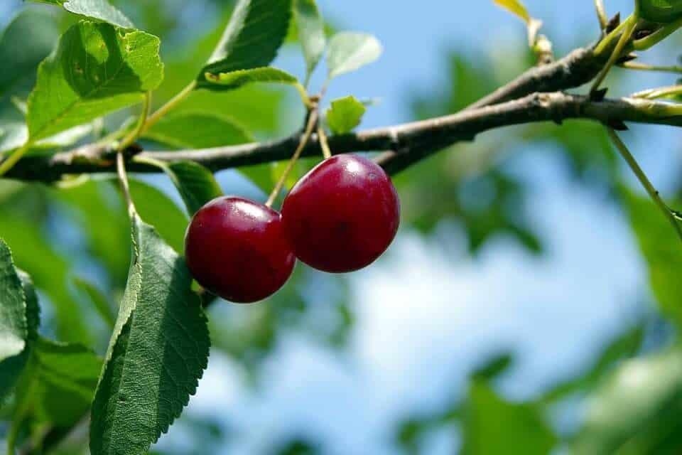 poda del cerezo