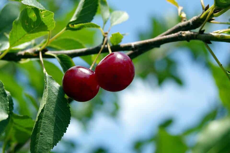 plantar un cerezo paso a paso
