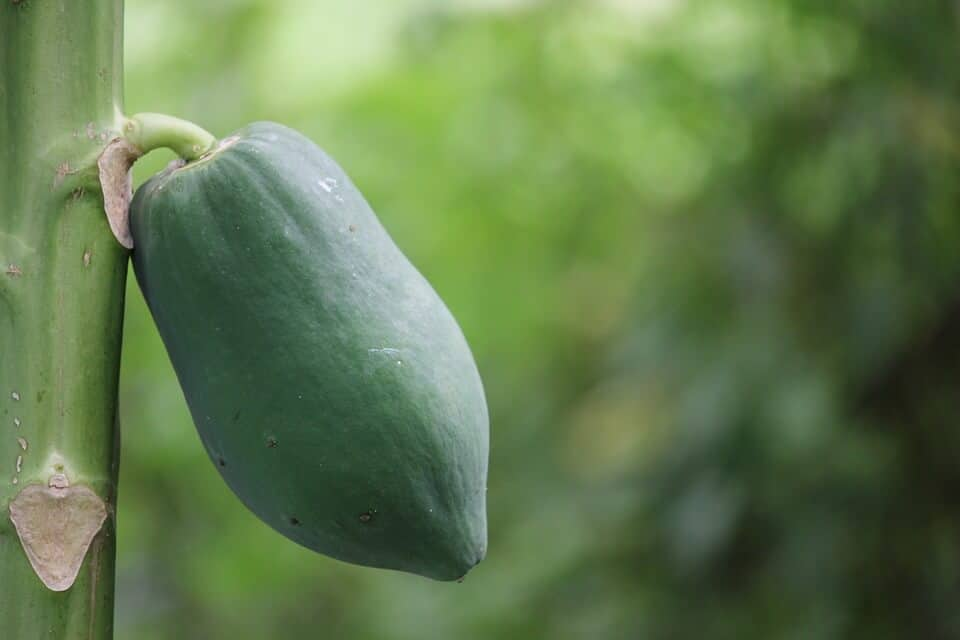 plantar un papayo