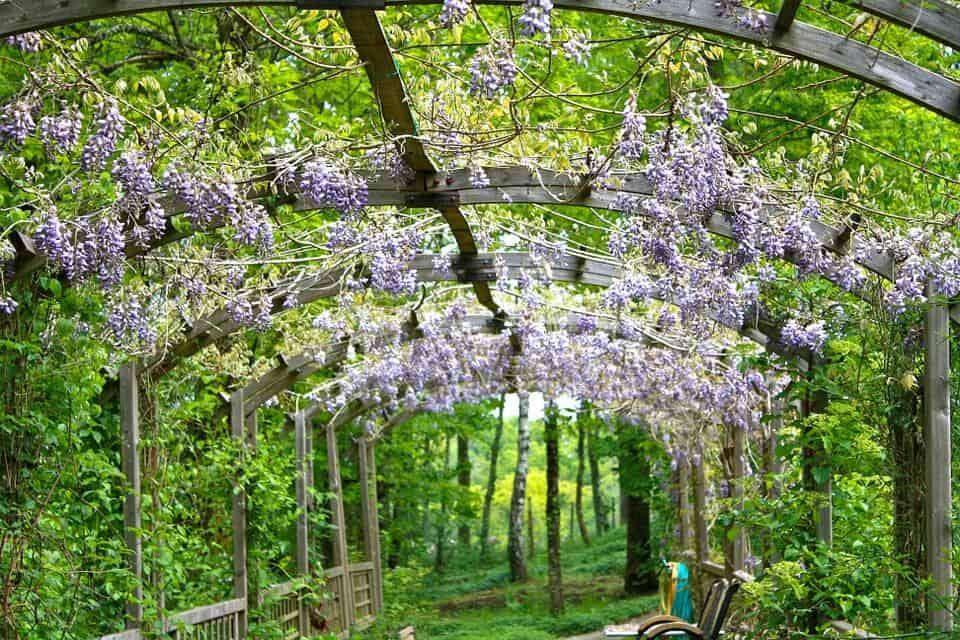 plantar wisteria