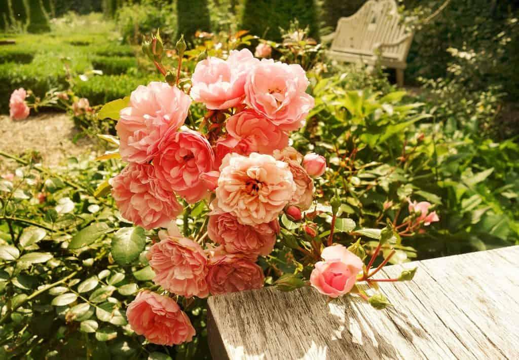 plantar rosal