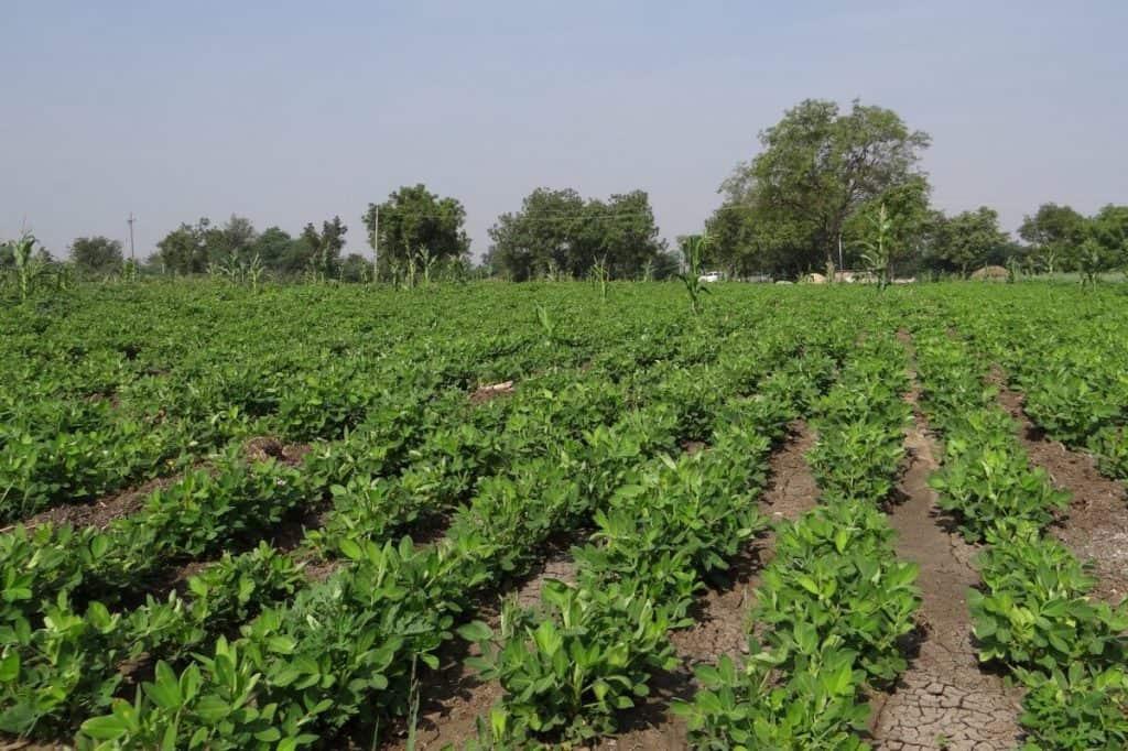 plantas de cacahuete