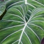 plantas feng shui filodendro