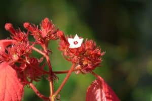 plantas tropicales musaenda