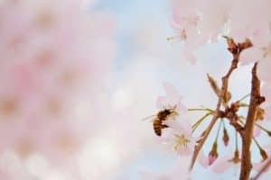 polinización del cerezo