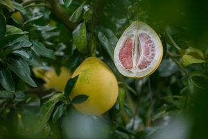 Con qué otras plantas o árboles podemos injertar el esqueje de naranjo - Pomelo