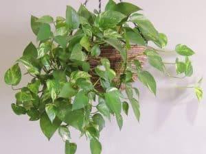 potos plantas de interior