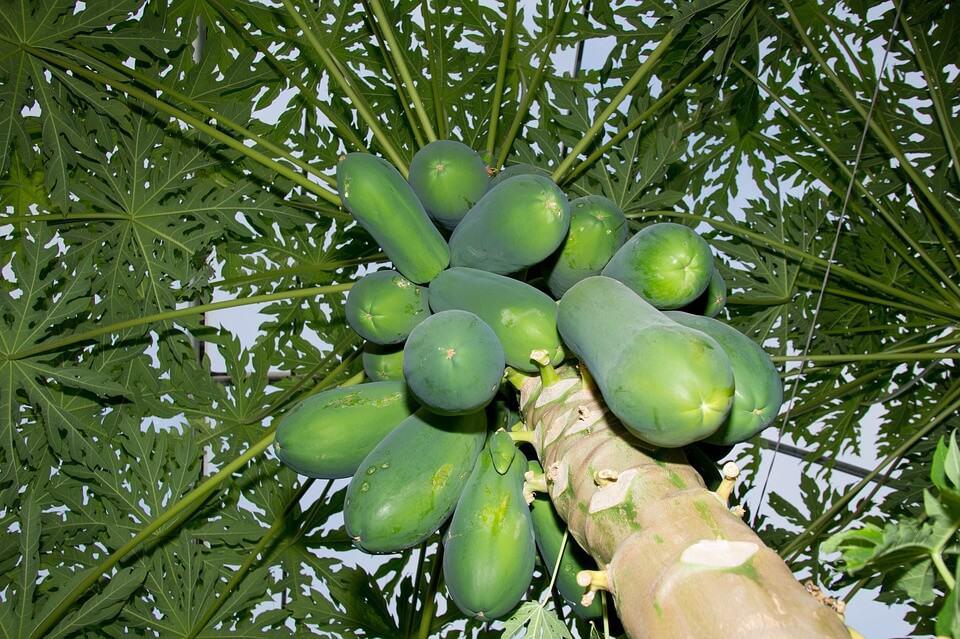 qué necesitamos para sembrar un papayo