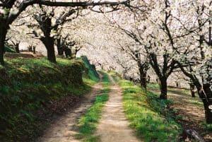 qué necesitamos para sembrar un cerezo