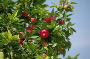 qué necesitamos para sembrar un manzano
