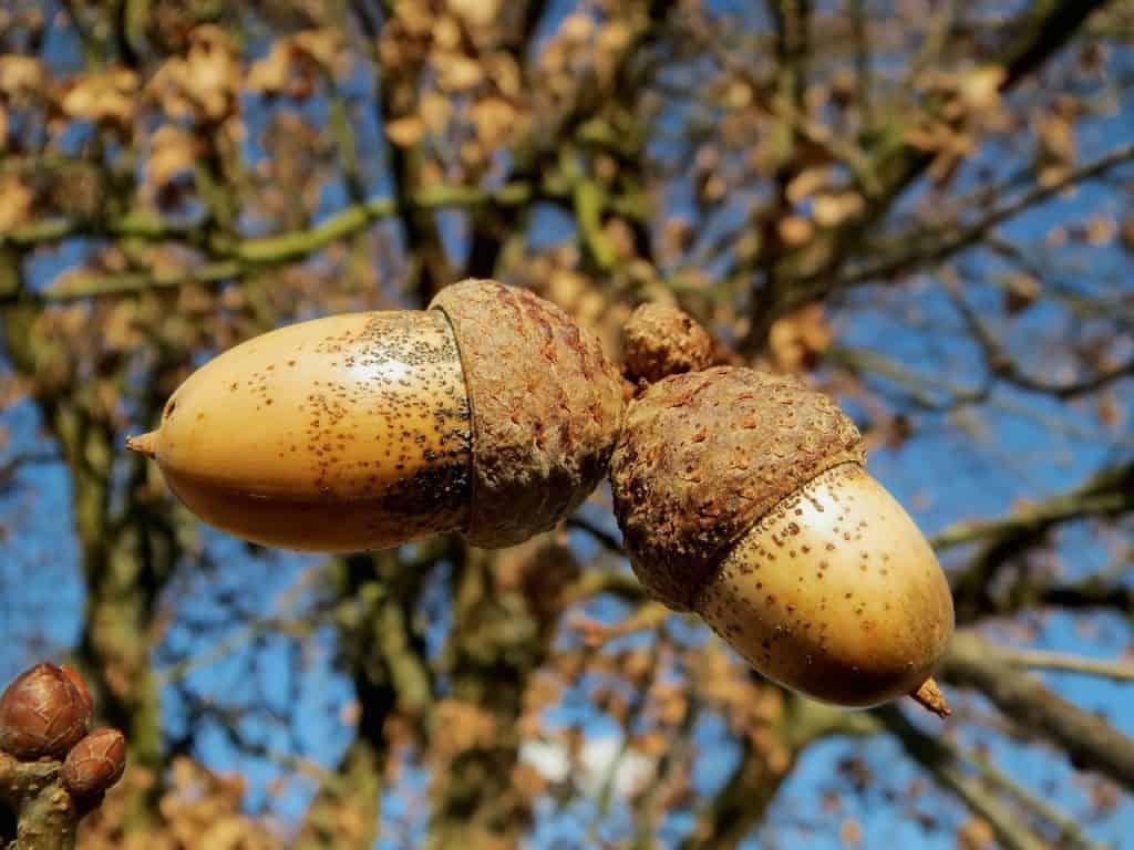 alcornoque hojas perennes