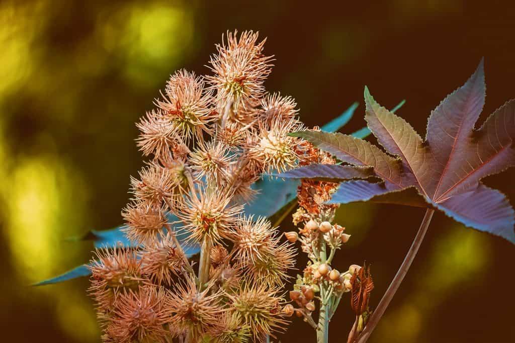 ricino plantas venenosas