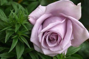 Rosas modernas