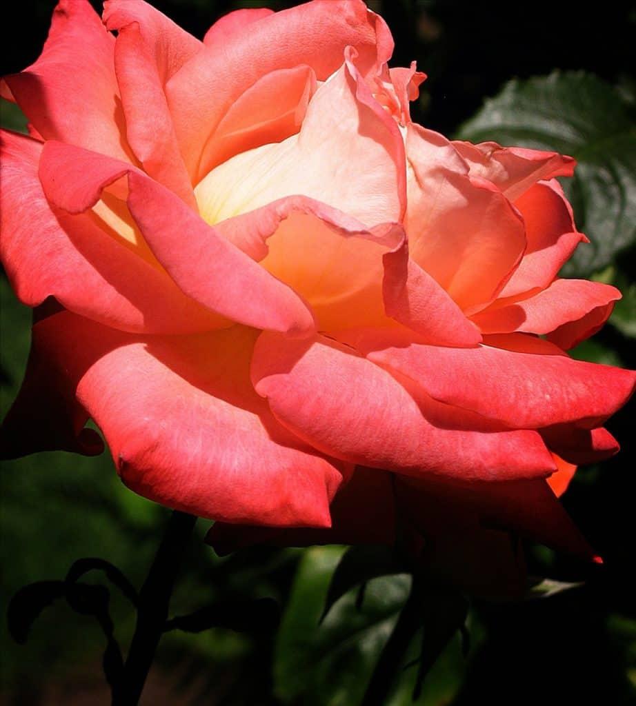 tipos rosas de portland