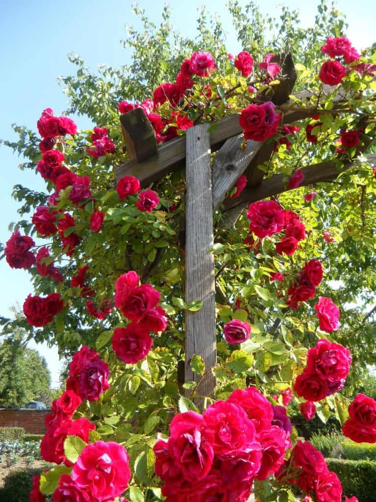 Rosa, Trepadora